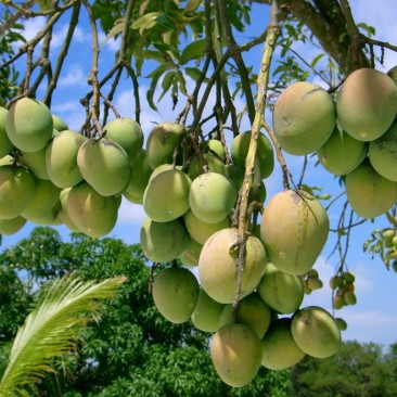 Mango Memories
